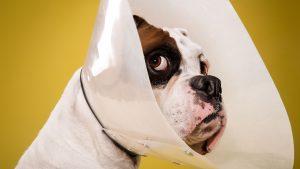 Esterilización de mascotas