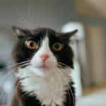 Enfermedad del tracto urinario inferior felino