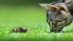 Gat mirant un ratolí