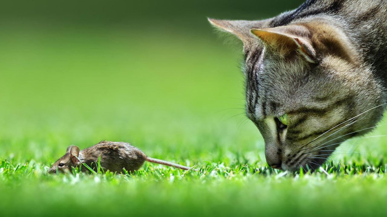Gato acechando un ratón